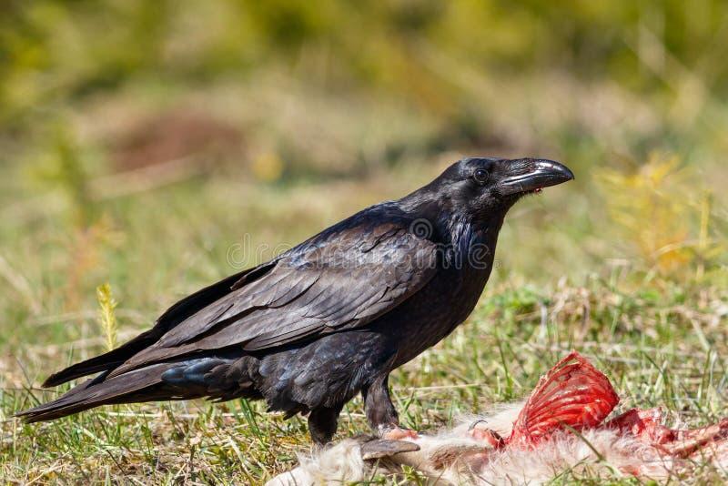 Cuervo que come su presa imagen de archivo