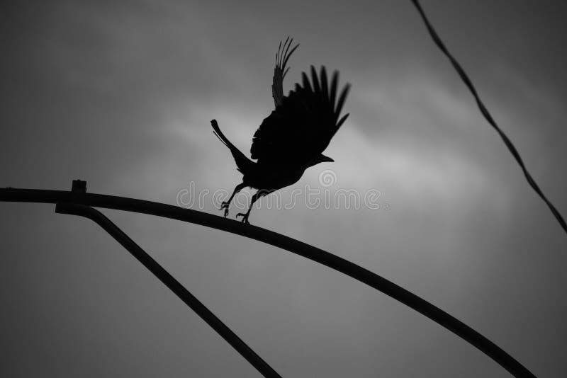 Cuervo que salta en el aire en blanco y negro imagen de archivo