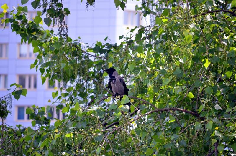 Cuervo que se sienta en un árbol fotos de archivo