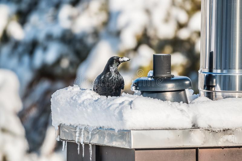 Cuervo que se sienta en una chimenea nevada imagenes de archivo