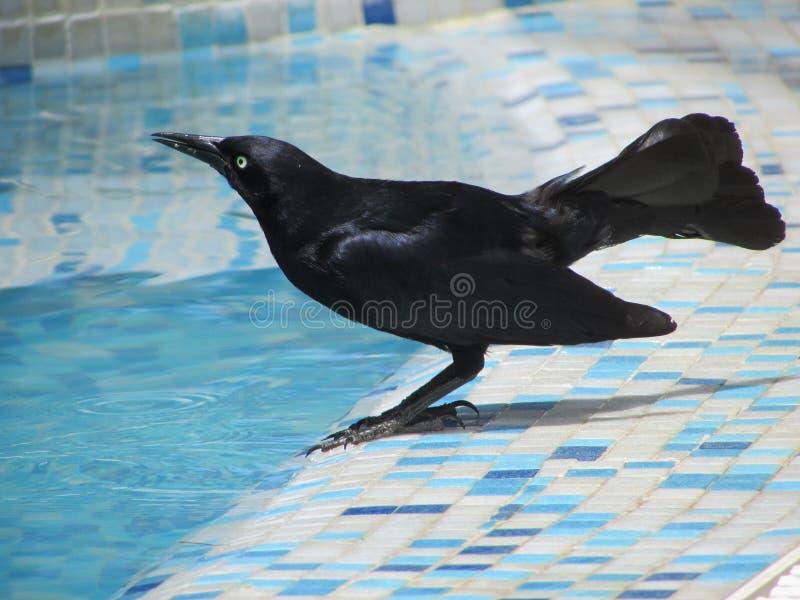 Cuervo sediento imagen de archivo
