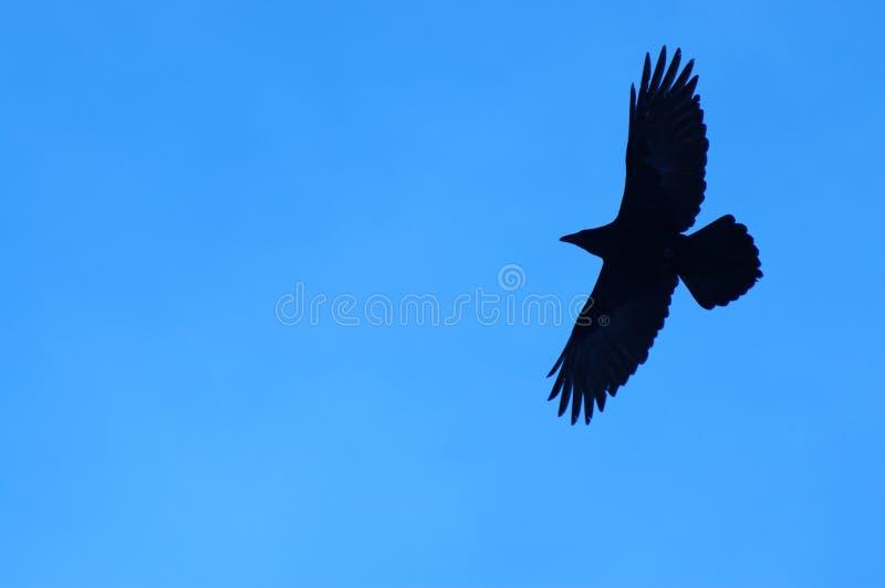 Cuervo solitario fotos de archivo