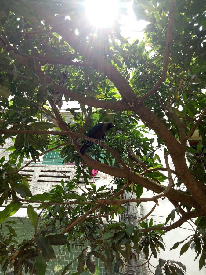 Cuervo y árbol foto de archivo