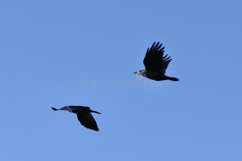 Cuervos del vuelo fotografía de archivo libre de regalías