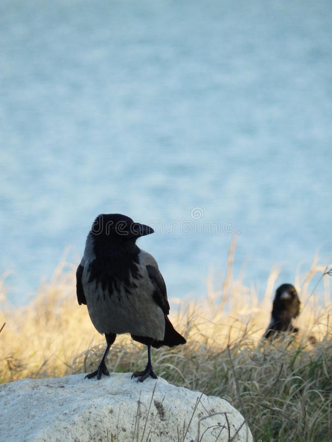 Cuervos grises imagen de archivo