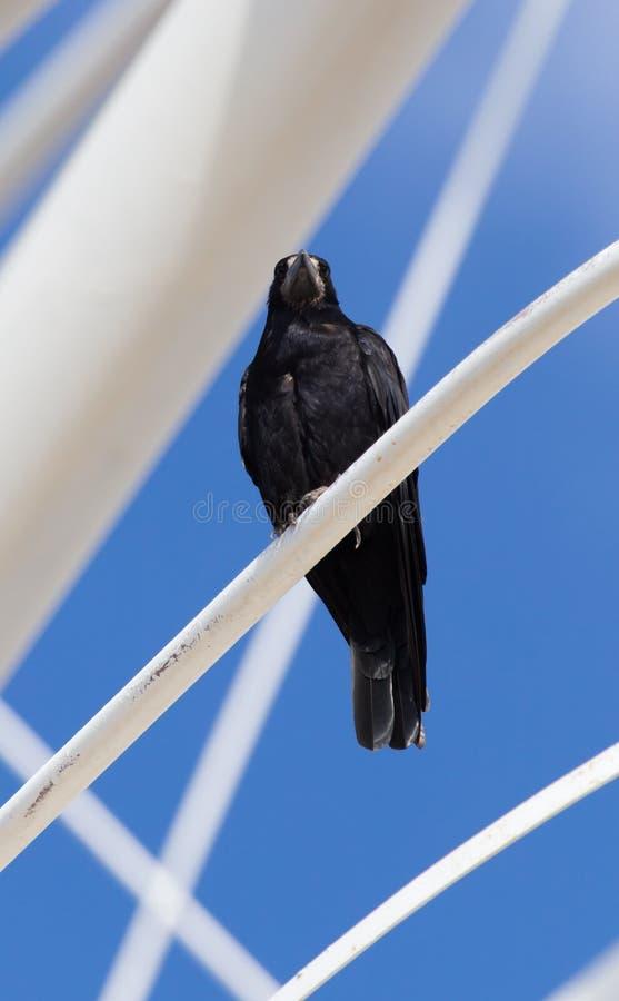 Cuervos negros en naturaleza fotografía de archivo