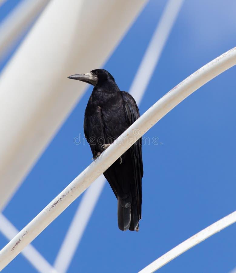 Cuervos negros en naturaleza fotos de archivo libres de regalías