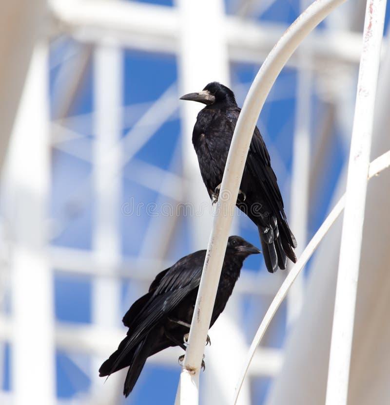 Cuervos negros en naturaleza fotografía de archivo libre de regalías