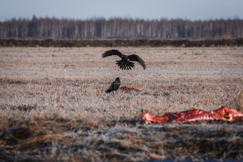 Cuervos negros que comen la carroña imágenes de archivo libres de regalías