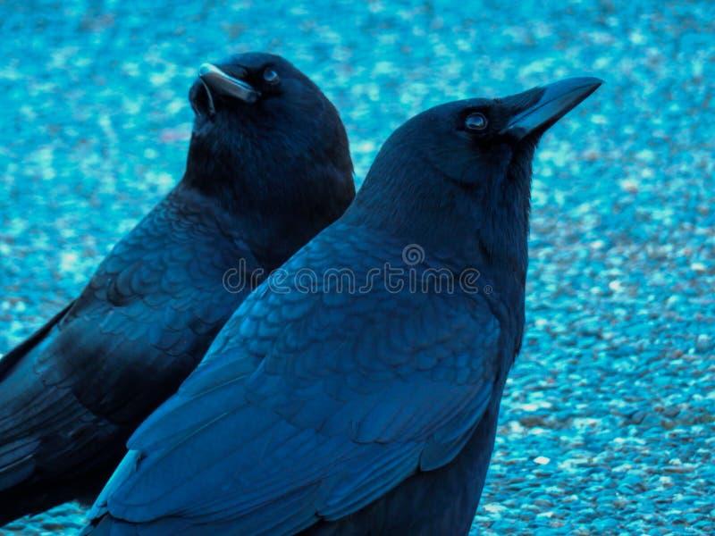 Cuervos, preguntándose imagen de archivo libre de regalías