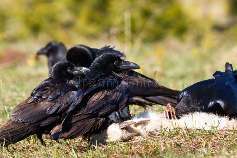Cuervos que comen su presa foto de archivo libre de regalías