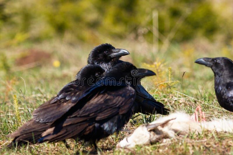 Cuervos que comen su presa foto de archivo