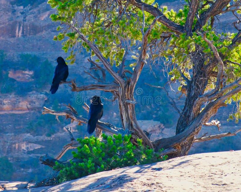 Cuervos que miran en el barranco fotografía de archivo