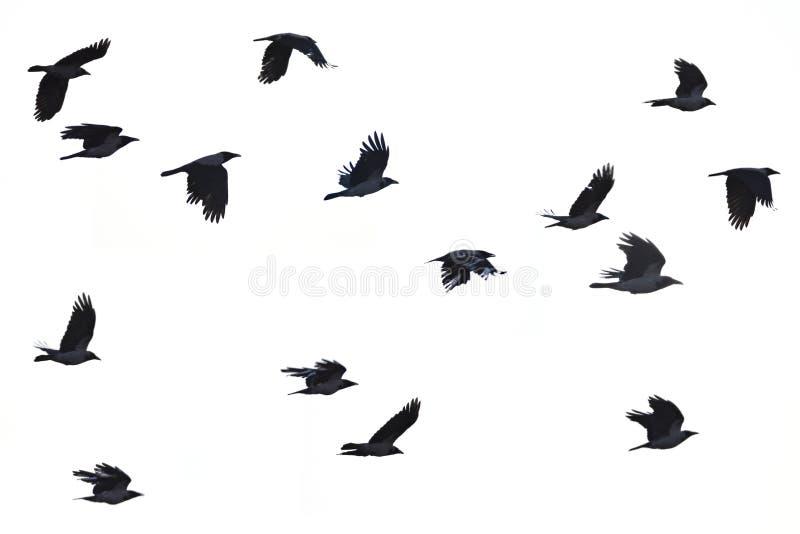 Cuervos que vuelan, fondo blanco imagen de archivo libre de regalías