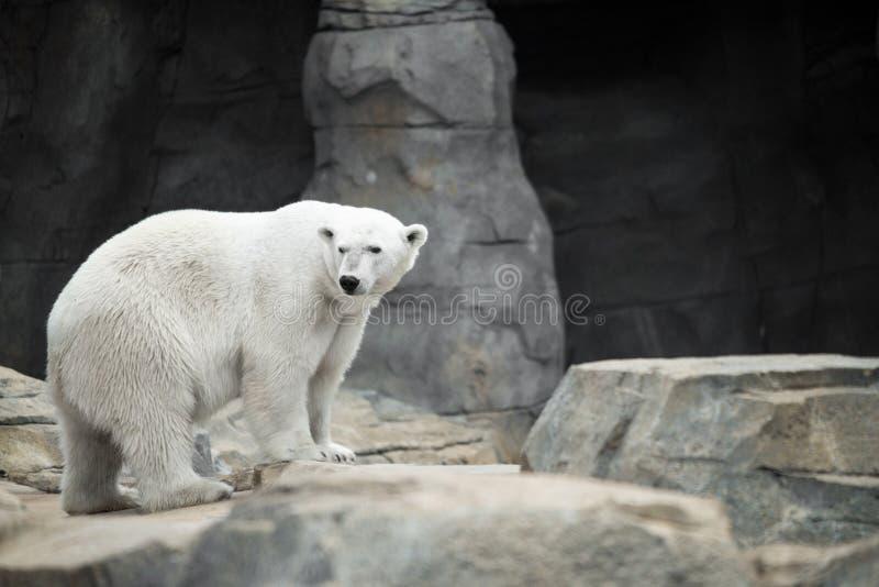 Cueva del oso polar foto de archivo