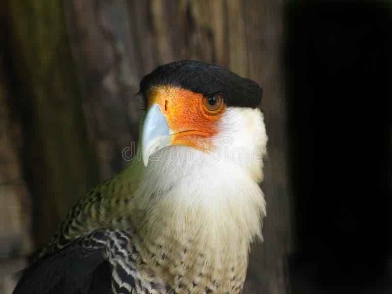 Cuidado de Cari del halcón o cierre cheriway del Caracara encima del pájaro de los falconiadae imagen de archivo libre de regalías
