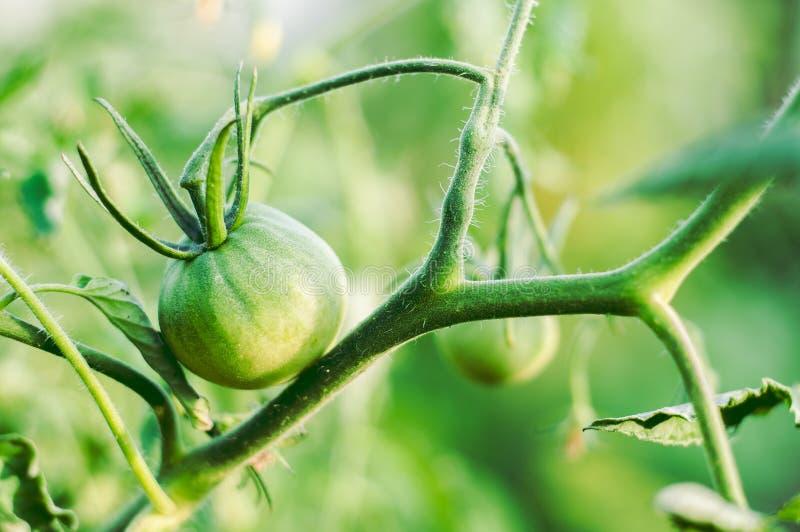 Cuidado y cultivo de tomates en casa en sus camas Verduras útiles y respetuosas del medio ambiente Tomate verde inmaduro imagen de archivo libre de regalías