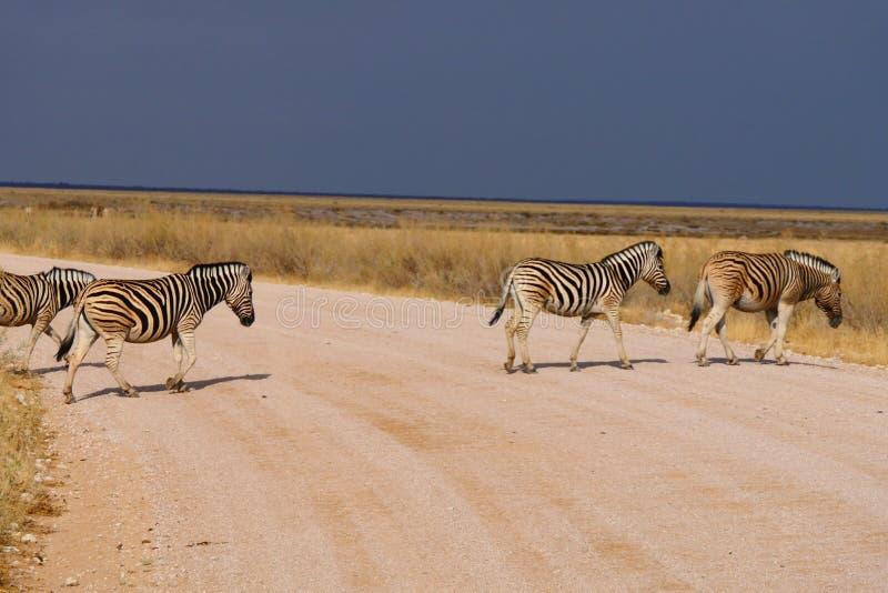 Cuidadoso, cruzamento de zebras fotografia de stock