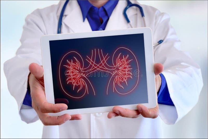 Cuide mostrar una representación del riñón en una tableta en frente ilustración del vector
