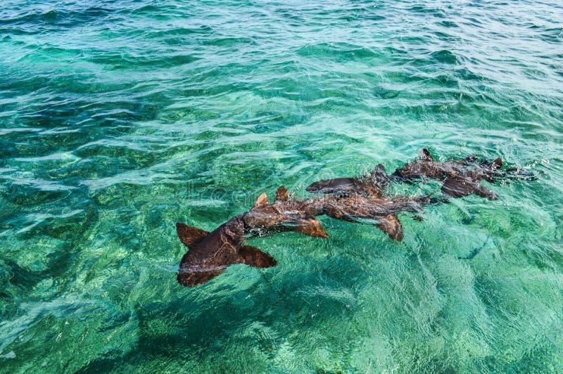 Cuide a Sharks Gathering en la expectativa del cebo en el tiburón Ray Alley de la isla del calafate de Caye en Belice, del Caribe foto de archivo