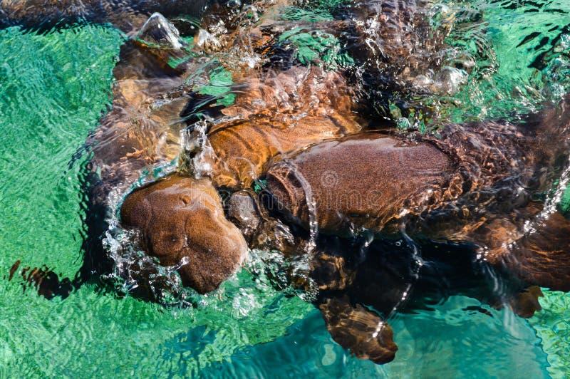 Cuide a Sharks Gathering en la expectativa del cebo en el tiburón Ray Alley de la isla del calafate de Caye en Belice, del Caribe fotos de archivo libres de regalías