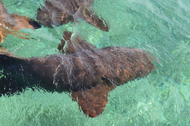 Cuide a Sharks Gathering en la expectativa del cebo en el tiburón Ray Alley de la isla del calafate de Caye en Belice, del Caribe fotos de archivo