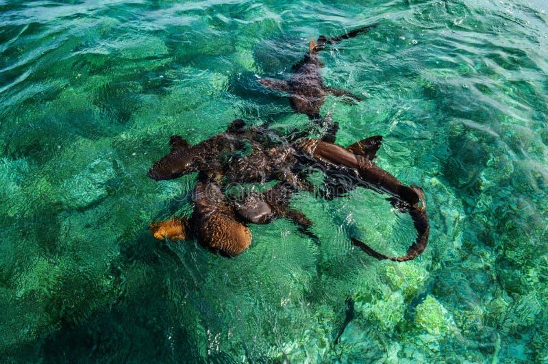 Cuide a Sharks Gathering en la expectativa del cebo en el tiburón Ray Alley de la isla del calafate de Caye en Belice, del Caribe foto de archivo libre de regalías