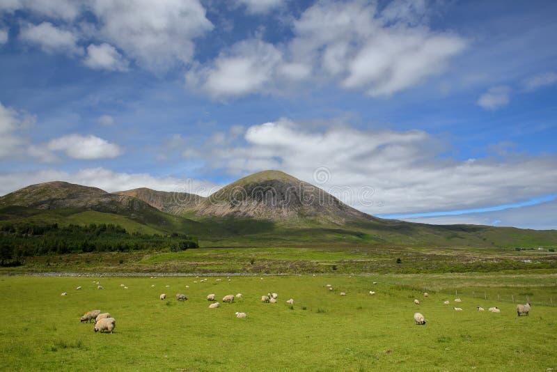 Cuillin-Hügel Berg Beinn Na Caillich rote von der Straße zwischen Broadford und Torrin mit Schafen im Vordergrund lizenzfreies stockfoto