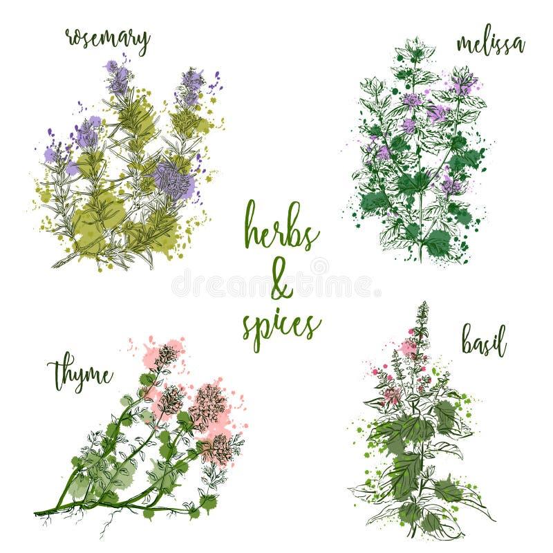 Cuisson des herbes et des épices dans le style d'aquarelle Rosemary, mélisse, basilic, thym illustration stock