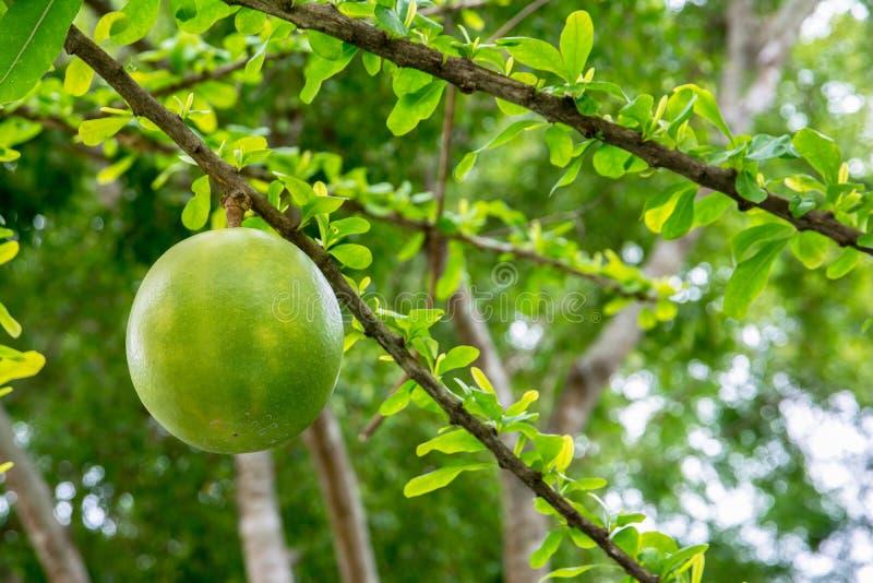 Cujete fresco del Crescentia en árbol de calabaza en el parque fotos de archivo