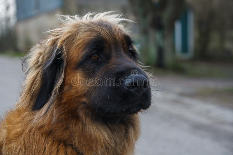 Cukierki psi puszysty fotografia stock