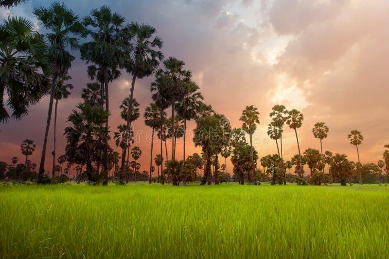 cukrowa palma zakończeniem do wierzchołka, widzii owoc i liście obrazy royalty free