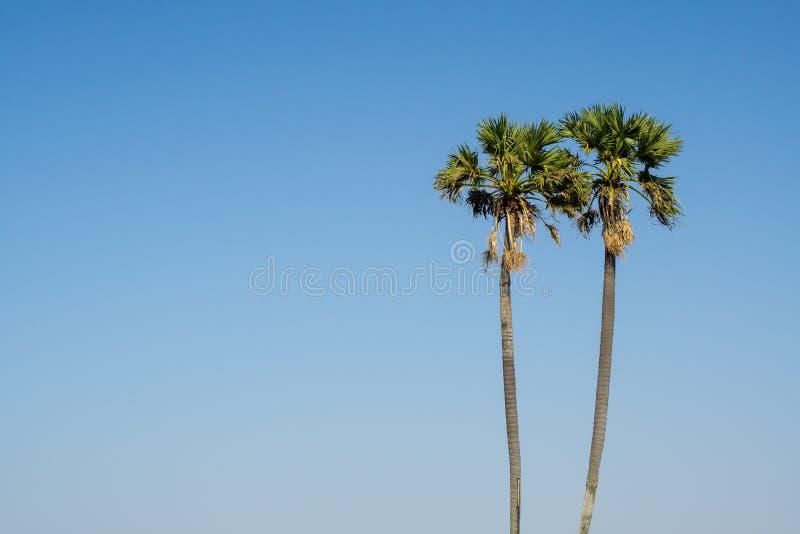 Cukrowe palmy zdjęcie stock