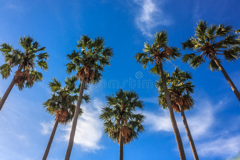 Cukrowi drzewka palmowe fotografia stock