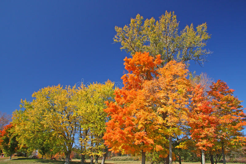 Cukrowi Klonowi drzewa w spadku zdjęcie royalty free