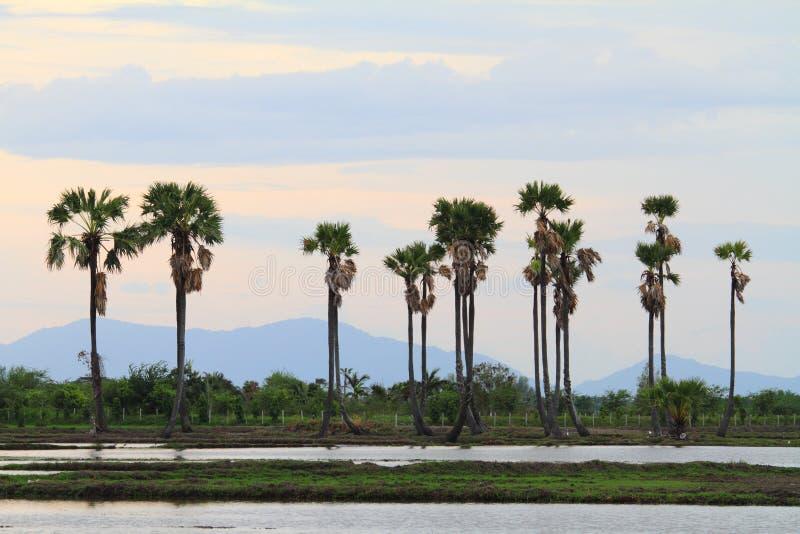 Cukrowy drzewko palmowe w zmierzchu czasie fotografia royalty free