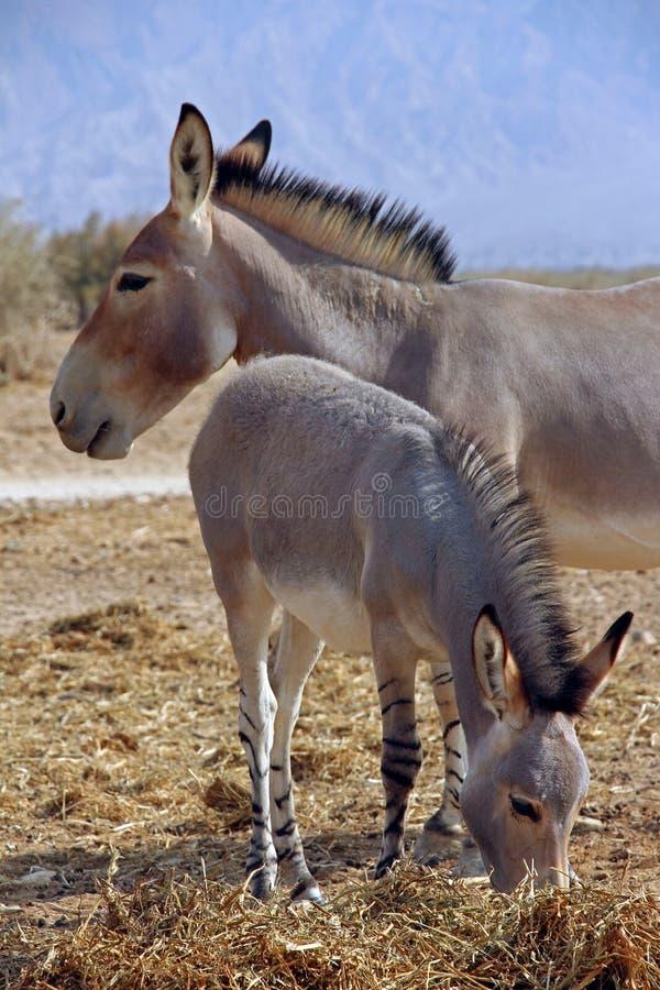 Cul sauvage africain dans les sud de l'Israël image stock