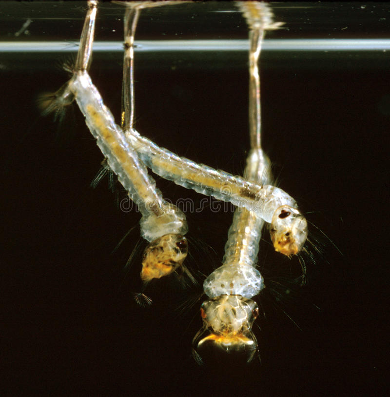 Culex Mosquito Larvae Hanging by their Breathing Tubes royalty free stock photography