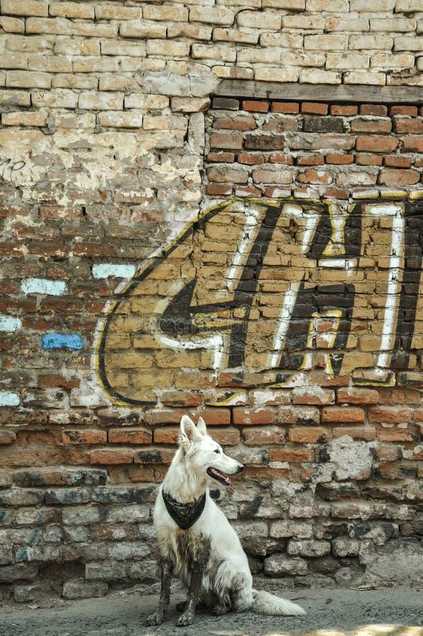 07/07/2018, Culiacan, Sinaloa, Messico: Un cane con bandana si siede davanti ad una parete di sbriciolatura fotografie stock
