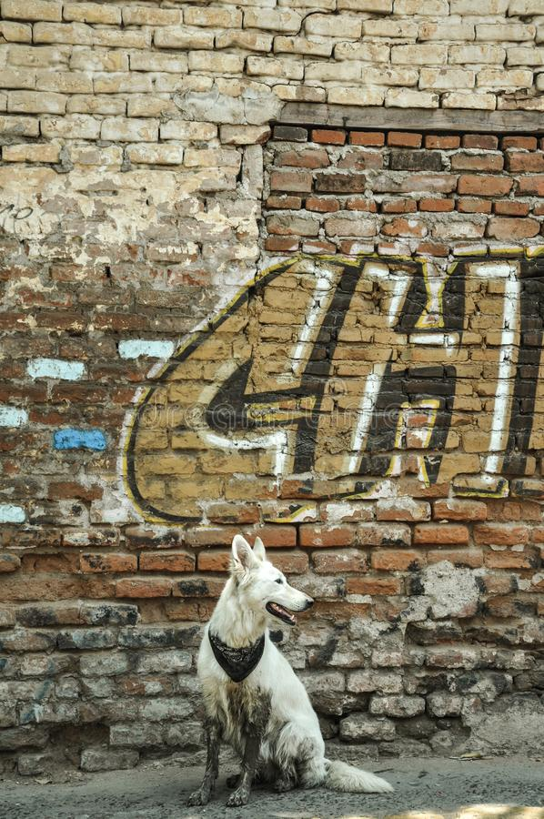 07/07/2018, Culiacan, Sinaloa, Mexique : Un chien avec un bandana se repose devant un mur de émiettage photos stock