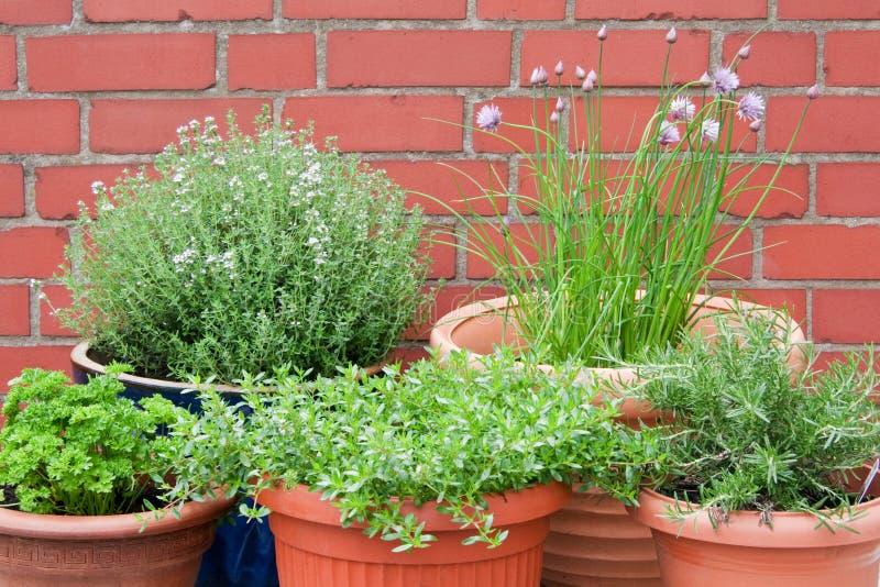 Culinary Herbs Stock Photos