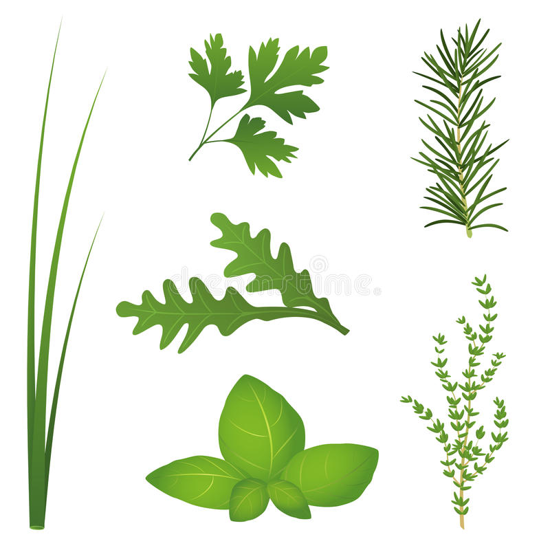 Culinary Herbs. Chives, parsley, rocket, basil, rosemary and thyme, the six most popular culinary herbs for salads and cooking. Isolated vector illustration on vector illustration