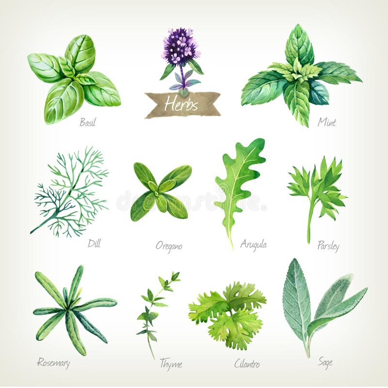 Culinary herbs collection watercolor illustration with clipping paths. Watercolor collection of culinary herbs isolated on white background with clipping path stock illustration