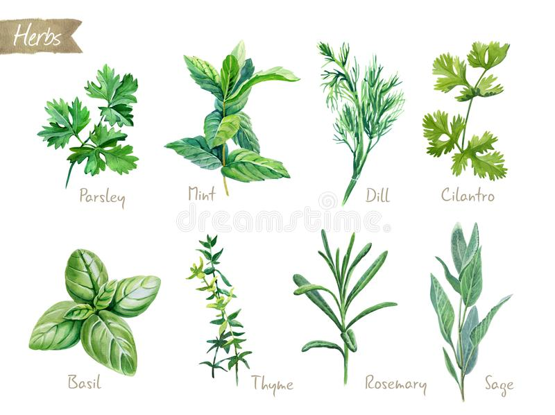 Culinary herbs collection watercolor illustration with clipping paths. Watercolor collection of culinary herbs on white background with clipping path included stock illustration