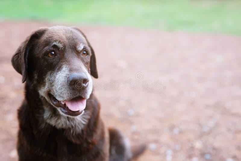 Culpado tímido do cão é um cão de cão do abrigo que espera olhando acima com olhos sós um olhar fixo intenso fora imagens de stock