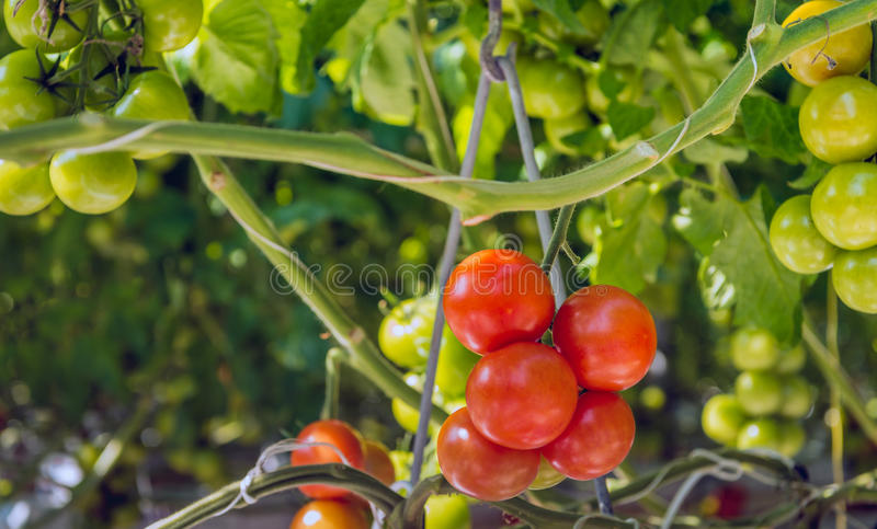 Cultiv maduro de los tomates de la maduración y ya de la cosecha hidropónico fotos de archivo libres de regalías