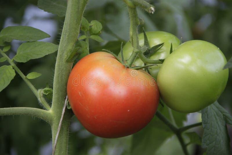 Cultivación de tomates imagen de archivo