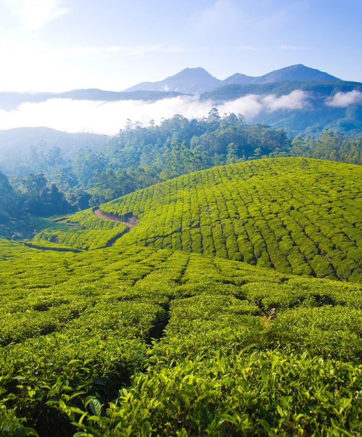 Cultivación del té imágenes de archivo libres de regalías