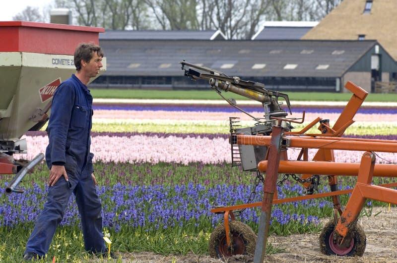 Cultivador de trabajo del bulbo en el campo del bulbo, Países Bajos imagenes de archivo