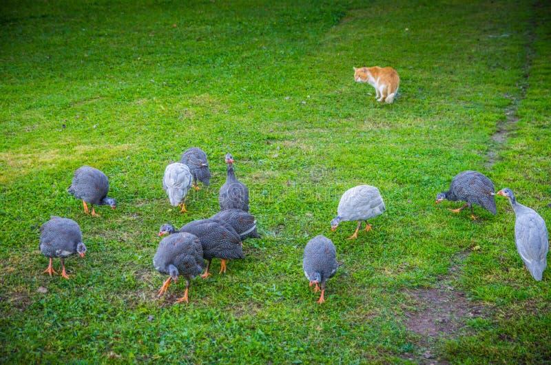 Cultivando os pássaros e o gato que olham a eles fotografia de stock